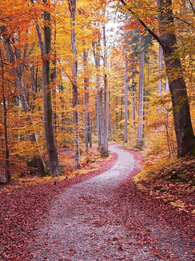 Passaggio pedonale di autunno attraverso la foresta dell'albero di faggio immagini stock libere da diritti