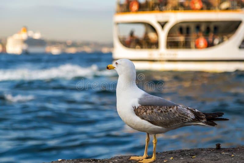 Passagierfährenschiff auf dem Golf-goldenen Horn, Seemöwe, die O steht lizenzfreie stockfotografie