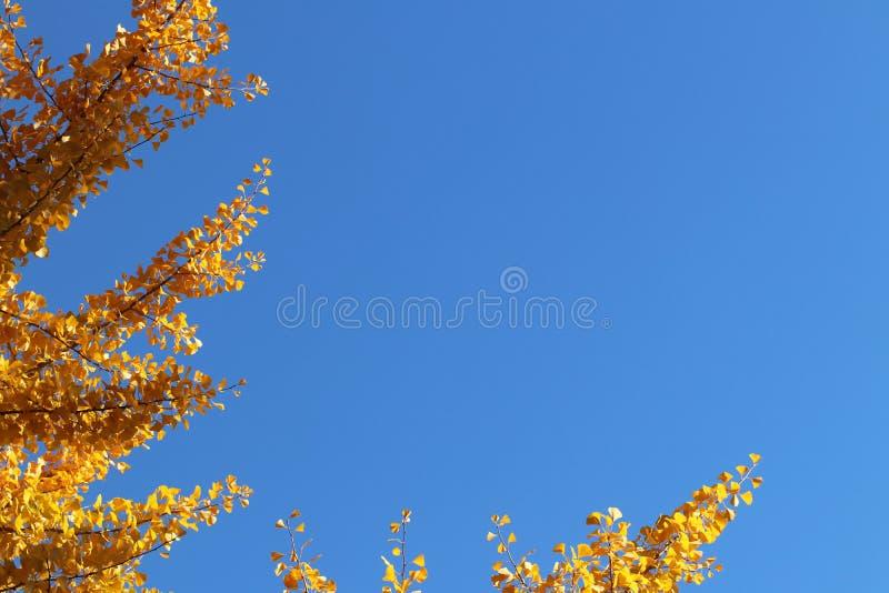 Passagierpassagierflugzeug fliegt hoch in den blauen Himmel Entwirrtes gelbes Laub des Herbstes auf einem Baum auf einer Bestrafu stockfoto