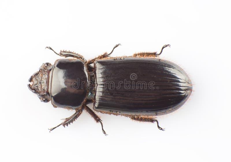 Download Passalidae stock afbeelding. Afbeelding bestaande uit dier - 29500687