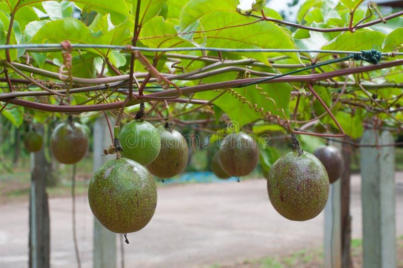 Passando a árvore de fruto imagem de stock