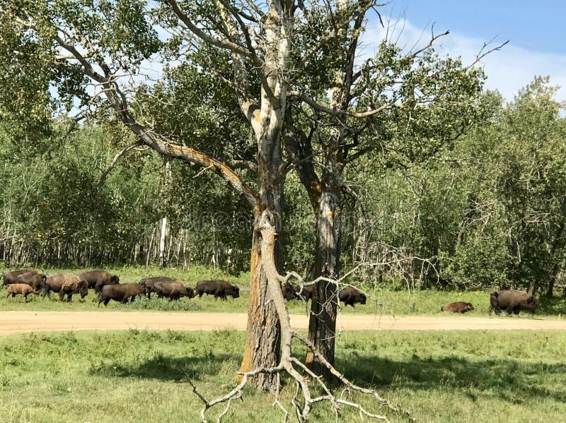 Passando o rebanho do búfalo selvagem no parque nacional da ilha dos alces, Alberta, Canadá foto de stock