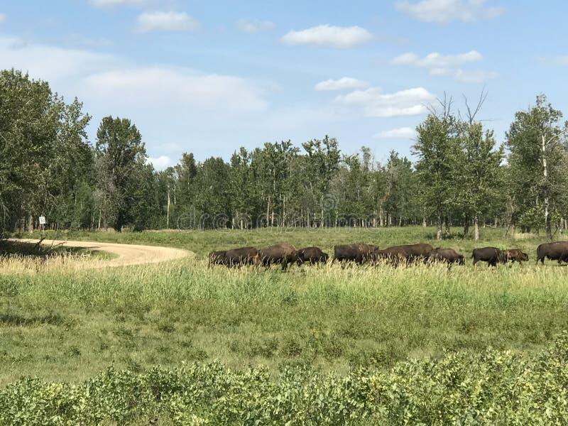Passando o rebanho do búfalo selvagem no parque nacional da ilha dos alces, Alberta, Canadá imagens de stock