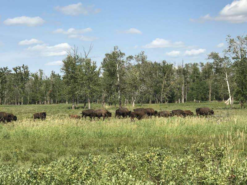 Passando o rebanho do búfalo selvagem no parque nacional da ilha dos alces, Alberta, Canadá imagem de stock