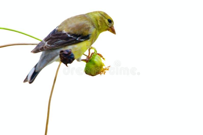 Passarinho amarelo fotografia de stock royalty free