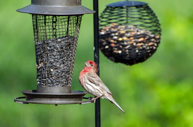 Passarinho de casa masculino em alimentadores do pássaro foto de stock