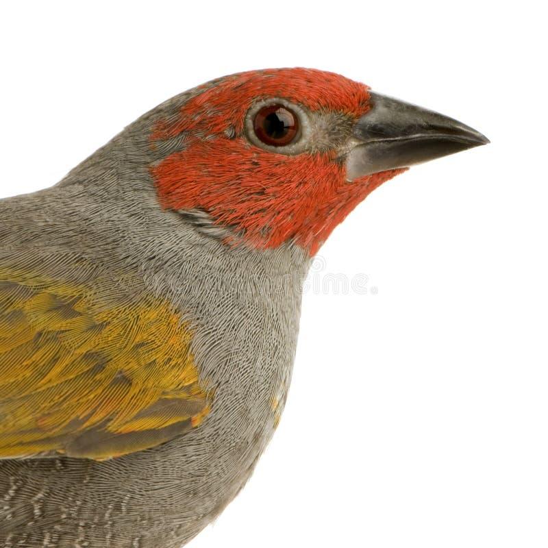 Passarinho Red-headed - erythrocephala de Amadina fotografia de stock