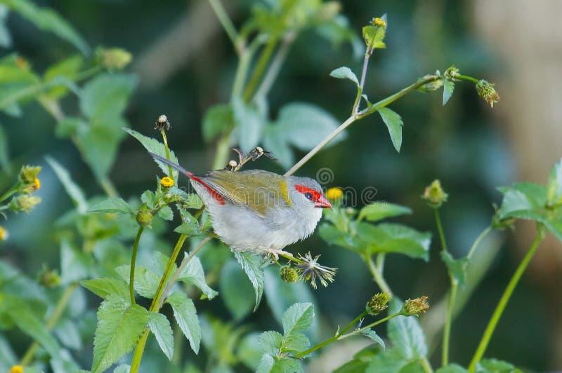 passarinho Vermelho-sobrancelhudo do firetail fotos de stock