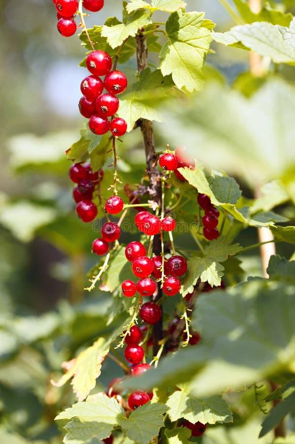 Download Passas De Corinto Vermelhas Imagem de Stock - Imagem de arbusto, vermelho: 26521165