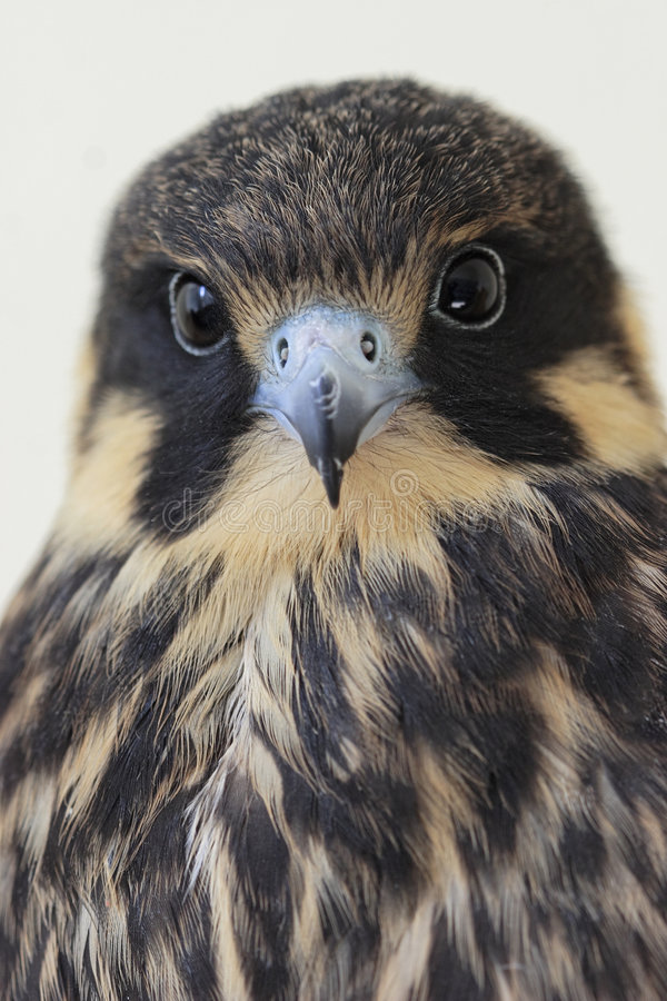 Passatempo euro-asiático (Falco Subbuteo) imagem de stock