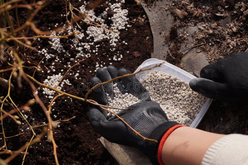 Passe-temps agréable et utile : travail dans le jardin Conteneur avec de l'engrais, offre tôt de ressort en myrtilles avant le dé photo libre de droits
