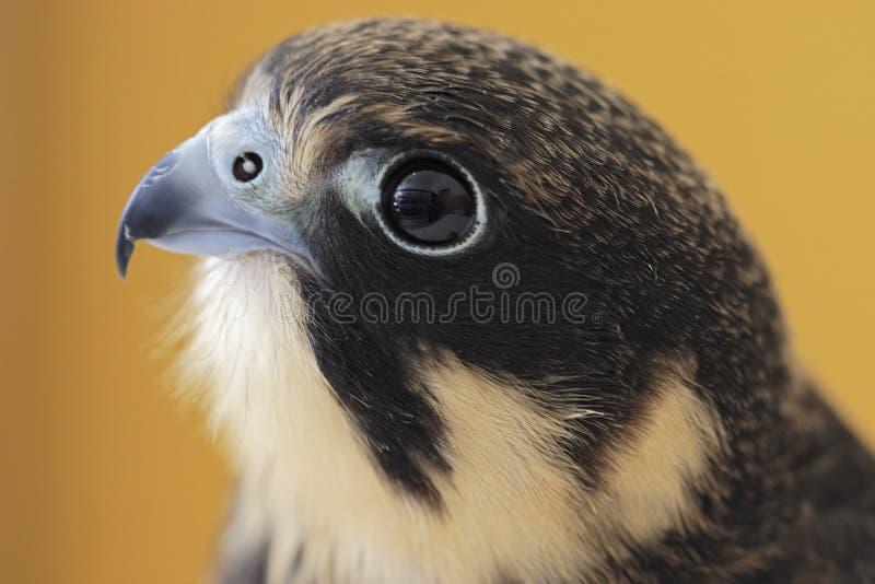 Passe-temps eurasien (Falco Subbuteo) images stock