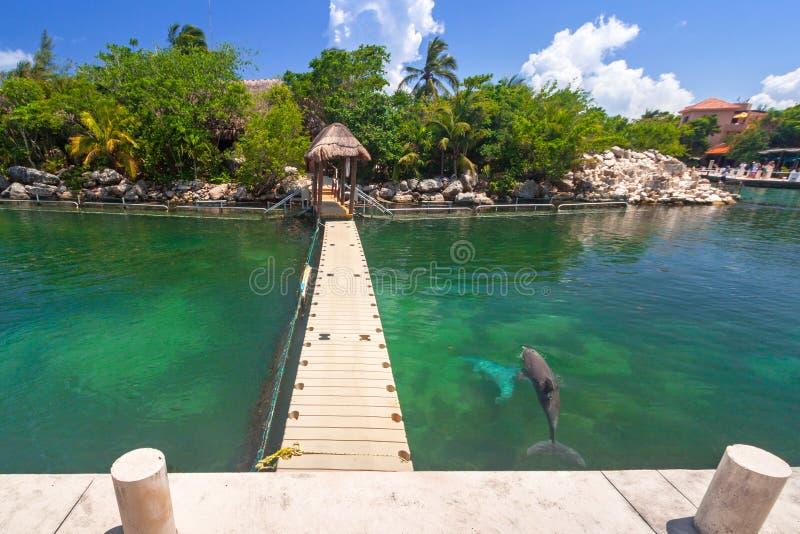Passeggiata al mar dei Caraibi con i delfini di nuoto fotografia stock