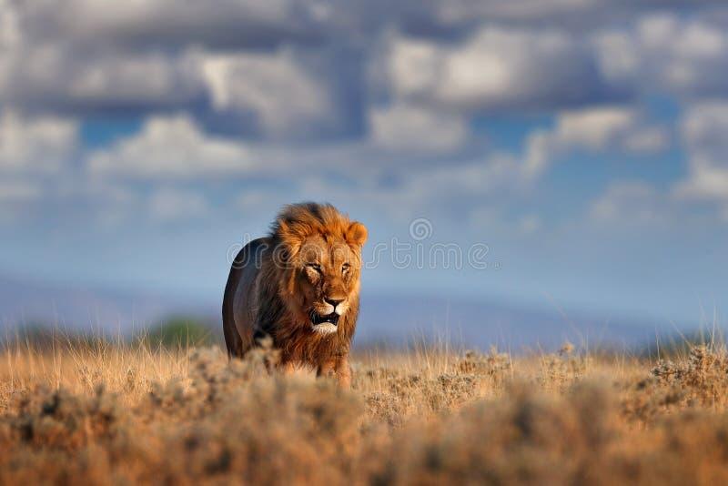 Passeggiata del leone Ritratto del leone africano, panthera Leo, dettaglio di grandi animali, Etocha NP, Namibia, Africa Gatti ne immagine stock