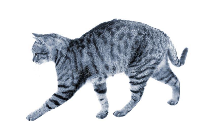 Passeggiata della caccia del gatto immagini stock