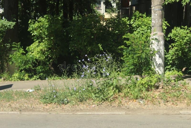 Passeggiata a Korolev Fiori di giugno fotografia stock libera da diritti