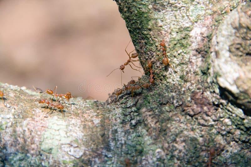 Passeggiata rossa della formica del primo piano sull'albero fotografie stock