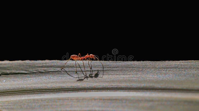 passeggiata rossa della formica sulla foglia fotografia stock libera da diritti