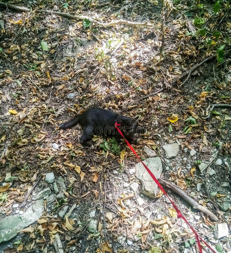 Passeggiata sul cablaggio del guinzaglio di un gatto nero Camminata del gatto nel parco immagine stock