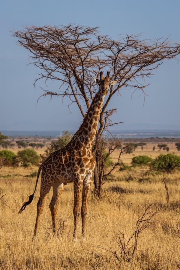 Passeggiate africane della giraffa immagine stock