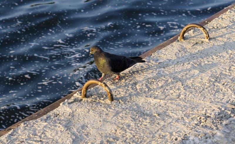 Download Passeggiate Del Piccione Dell'uccello Fotografia Stock - Immagine di piuma, alone: 56884430