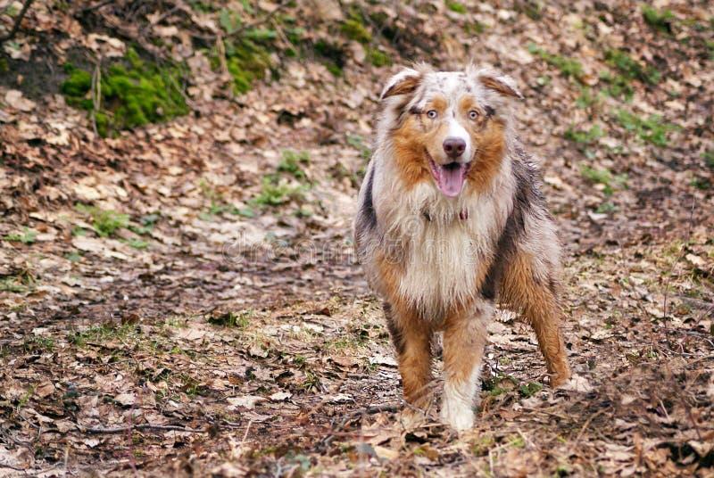 Passeggiate nel bosco signorili di razza del cane fotografia stock libera da diritti