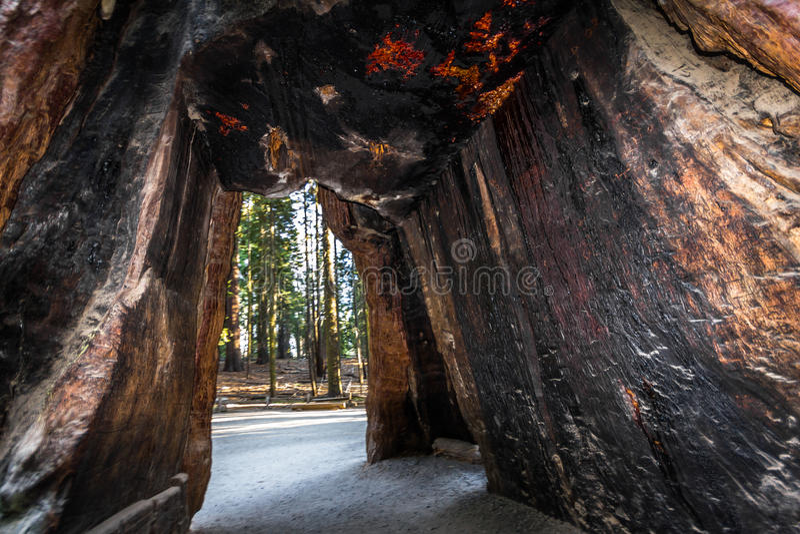 Passeio através da sequoia em Yosemite foto de stock royalty free