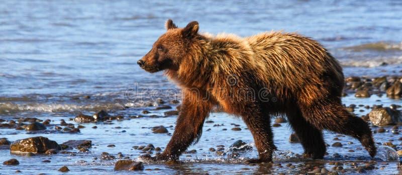 Passeio de Clark Young Brown Grizzly Bear do lago alaska fotos de stock