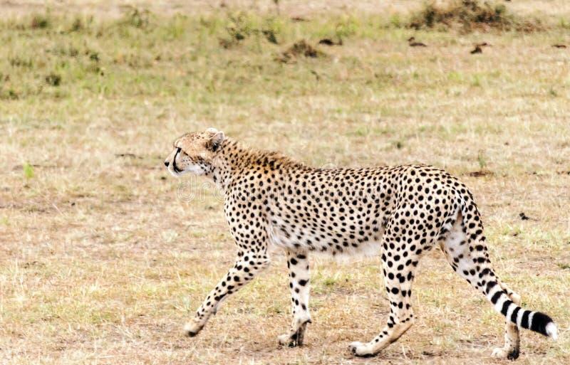 Passeio de Jaguar imagem de stock royalty free