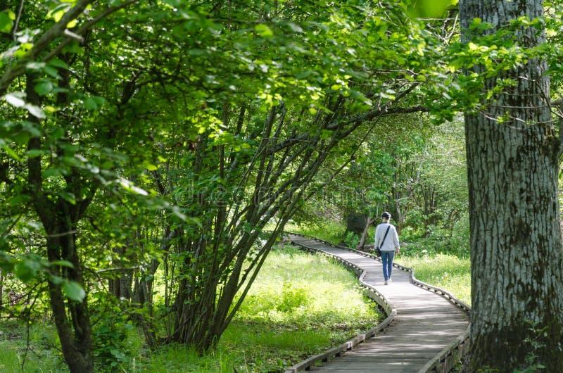 Passeio de madeira de enrolamento com uma mulher de passeio em uma reserva natural foto de stock royalty free