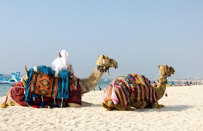 Passeio de oferecimento do camelo do turista do guia turística na praia de Jumeirah em Duba imagens de stock royalty free