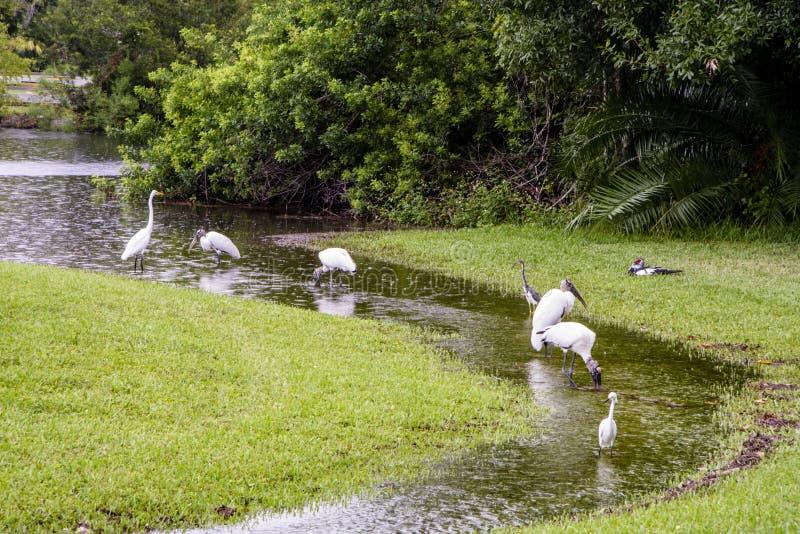 Passeio de Woodstorks e de Egrets no córrego