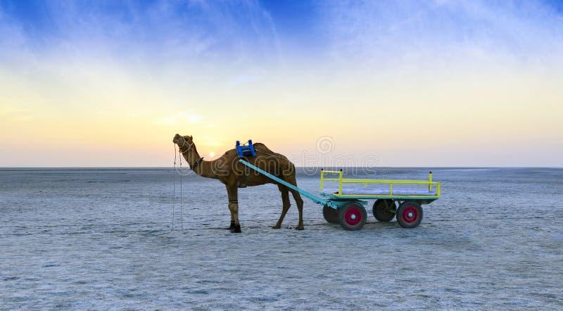 Passeio do camelo do por do sol em grande Rann de Kutch, Gujarat foto de stock