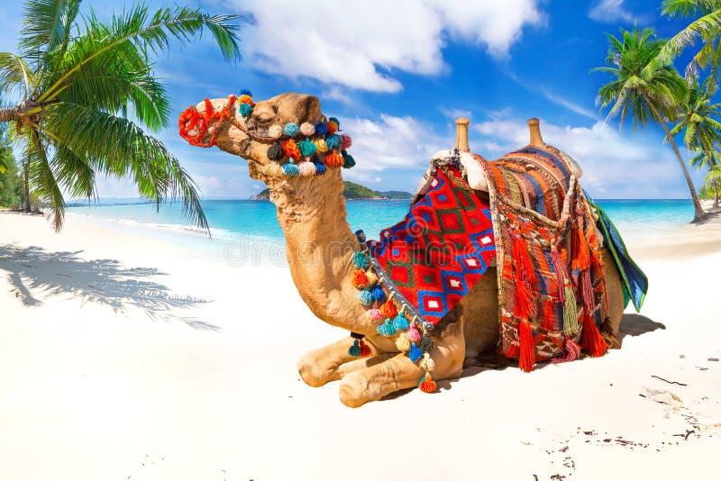 Passeio do camelo na praia fotos de stock royalty free