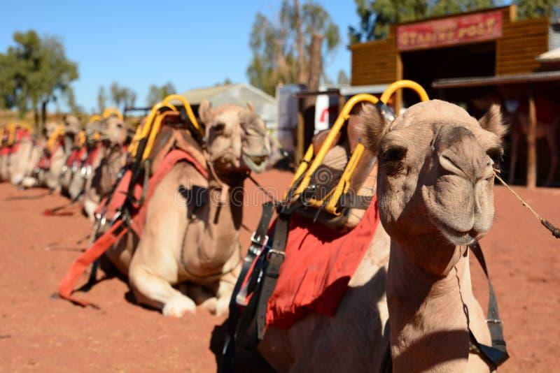 Passeio do camelo Parque nacional de Uluru - de Kata Tjuta Territ?rio do Norte austr?lia fotos de stock royalty free