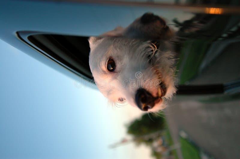 Passeio do carro do filhote de cachorro imagens de stock royalty free