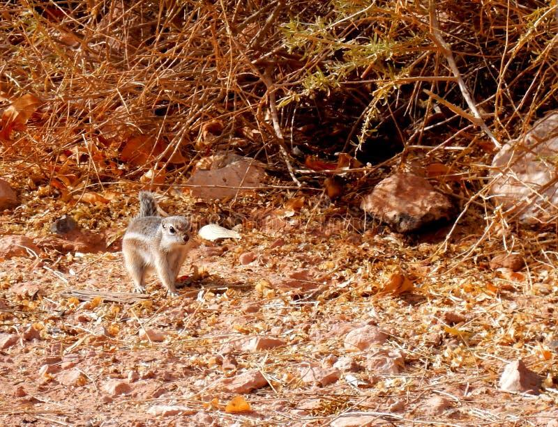 Passeio do esquilo do deserto foto de stock