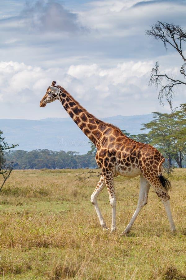 Passeio do girafa de Rothschild imagem de stock royalty free
