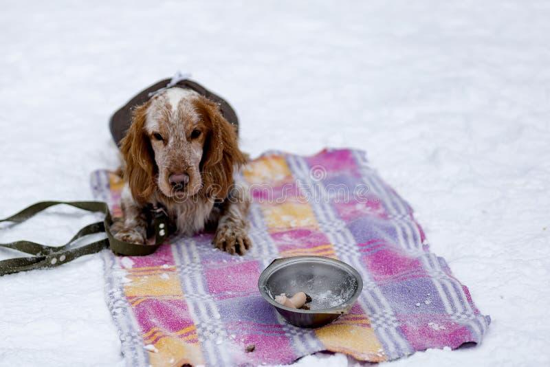 Download Passeio Do Inverno De Cocker Spaniel Foto de Stock - Imagem de fundo, divertimento: 107526358