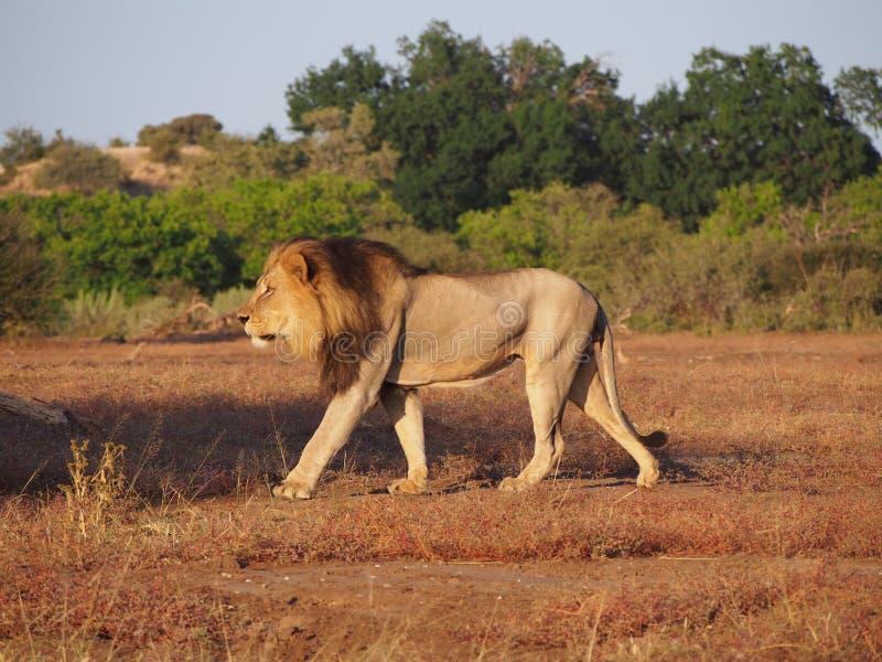 Passeio do leão orgulhoso na reserva do jogo de Mashatu, Botswana fotografia de stock royalty free