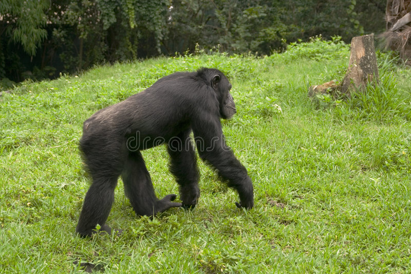 Passeio do macaco foto de stock royalty free