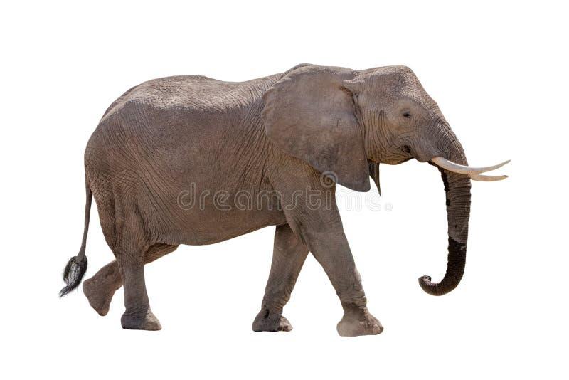 Passeio do perfil do elefante africano isolado imagem de stock