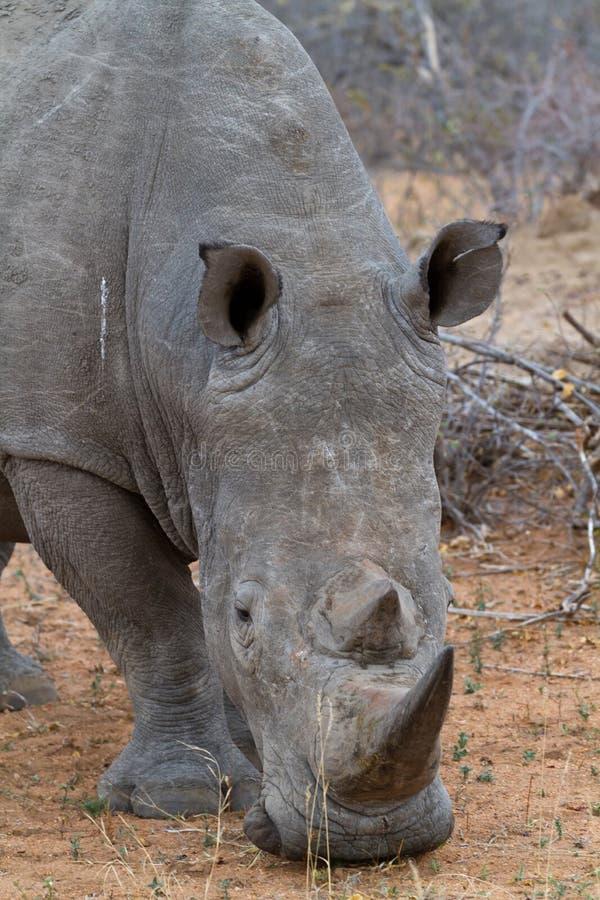 Passeio do rinoceronte foto de stock royalty free