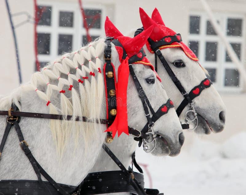 Passeio do transporte dos pares dos cavalos do cocheiro em uma rua da neve do inverno fotografia de stock royalty free