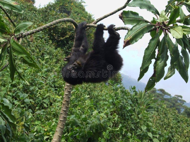 Passeio em a montanha do gorila imagens de stock royalty free