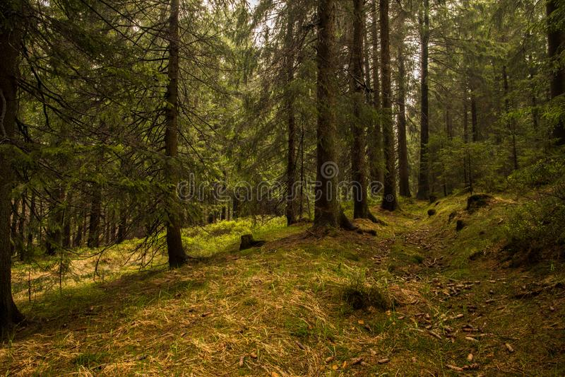 Passeio em uma floresta conífera verde no por do sol colisões caídas fotos de stock royalty free