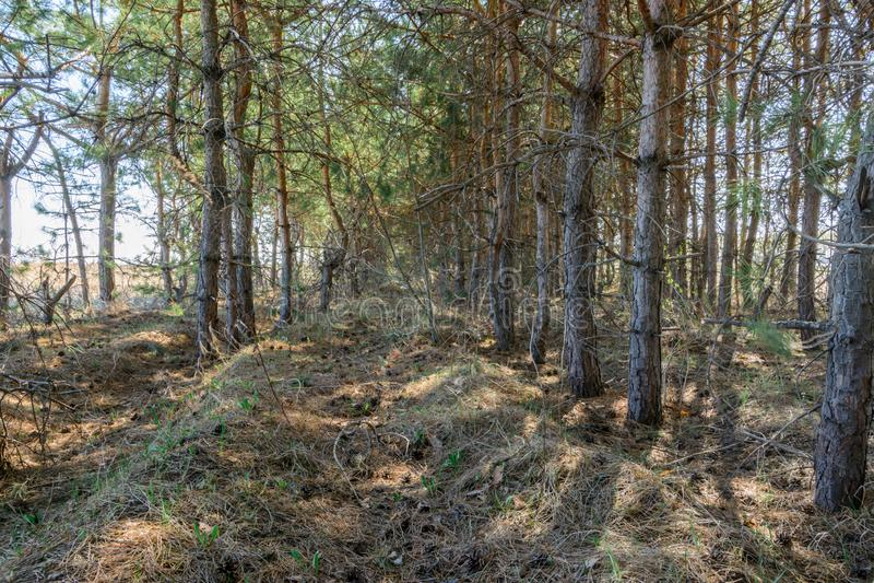 Passeio entre a plantação de árvores Pinheiros no dia ensolarado da mola Paisagem da mola foto de stock