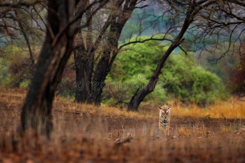 Passeio escondido tigre na primeira chuva do tigre indiano seco velho da floresta, animal selvagem no habitat da natureza, Rantha imagem de stock royalty free