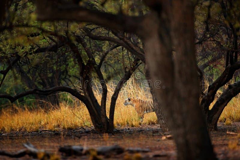 Passeio escondido tigre na primeira chuva do tigre indiano seco velho da floresta, animal selvagem no habitat da natureza, Rantha fotos de stock