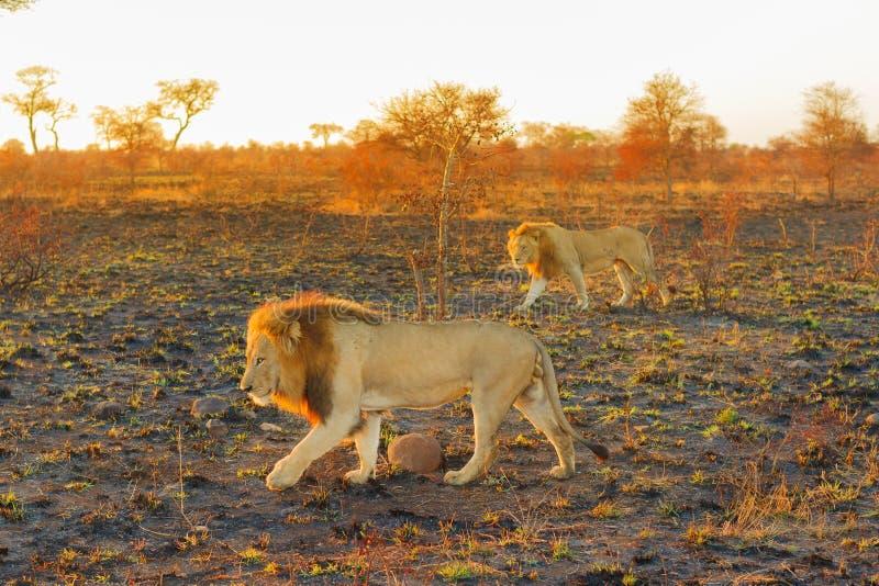 Passeio masculino de dois leões imagens de stock